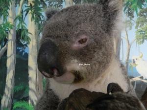 CU koala