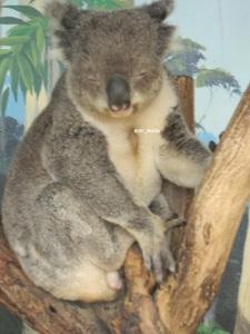 Zoo Koala